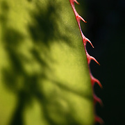 SHOT 12/18/2007 - A shadow of a tree cast on a leaf of a Shaw's Century Plant (Agave Shawii). The plant is indigenous to the Baja, Mexico area. Chiefly Mexican, they occur also in the southern and western United States and in central and tropical South America. The plants have a large rosette of thick fleshy leaves generally ending in a sharp point and with a spiny margin; the stout stem is usually short, the leaves apparently springing from the root. The Desert Botanical Garden is a 50 acre (20 ha) botanical garden located within Papago Park in Phoenix, Arizona, USA. Founded in 1939, the garden now has more than 21,000 plants, including 139 species which are rare, threatened or endangered. Of special note are the rich collections of agave (176 taxa) and cacti (10,350 plants in 1,350 taxa), especially the Opuntia sub-family. The Desert Botanical Garden has been designated as a Phoenix Point of Pride..(Photo by Marc Piscotty/ © 2007)