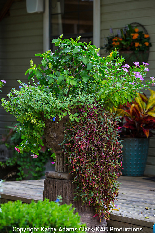 Container garden, hibiscus, vinca, Garden, Houston, late summer, Texas.