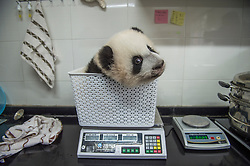 A Baby giant panda cub is weighed at the Bifengxia Giant panda base in Sichuan province, China October 24, 2015.   (Photo by Ami Vitale)