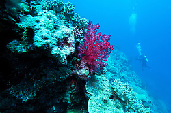 """Soft corals line """"The Wall"""" at Mermaid Reef, at the Rowley Shoals."""