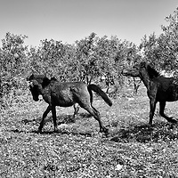 Horses run in a field near a Syrian refugee camp in the town of Reyhanli, Turkey, Sunday, March 18, 2012. The number of Syrian refugees in Turkey is now about 17,000. March 2012.