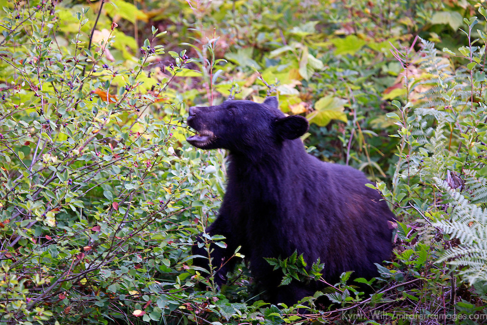 North America, Canada, British Columbia, Vancouver Island. An American Black Bear foraging for berries.