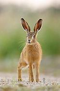 European Hare (Lepus europaeus) juvenile on farmland, Norfolk, UK.