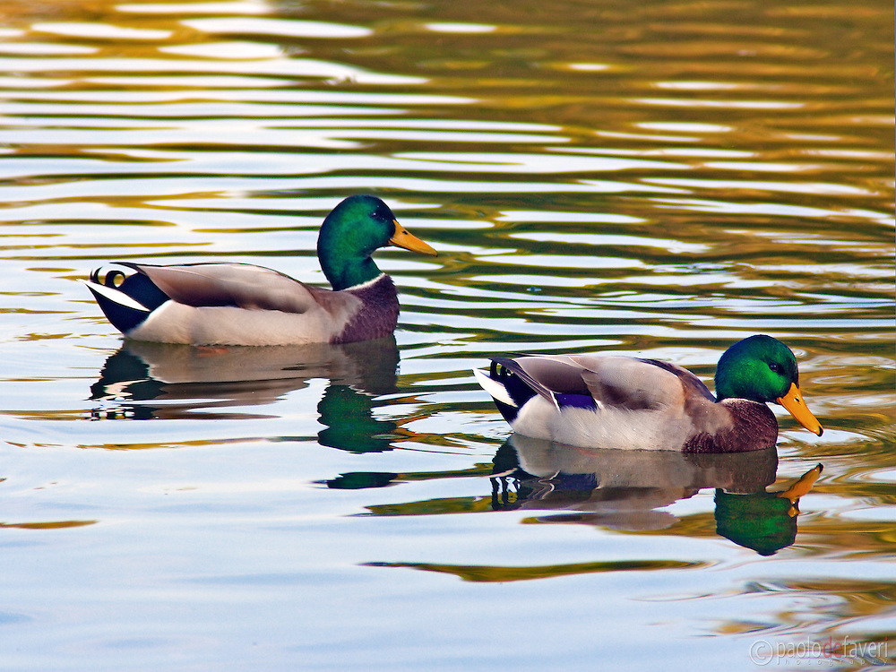 A couple of wild ducks get some rest from their southbound route. Taken in the Avigliana Lakes Natural Reserve in Piedmont, Italy, on an early morning of October, wthi the autumn foliage reflecting in the calm waters of the lake.