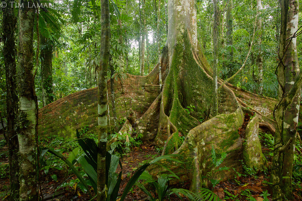A fig tree (Ficus sp.)  with giant buttresses at the Tiputini Biodiversity Station, Orellana Province, Ecuador