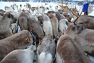 Sami herder, Johan Isak Oskal, brings sack of special feed to reindeer in icy pasture where herd was stranded half the winter by early autumn snows near Tromso, Norway.