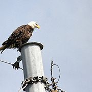 An American Bald Eagle perched atop a power pole on Jekyll Island Causeway