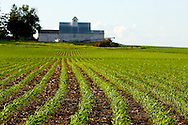 The symmetrical rows of a new field of corn lead the eye to an old barn on a farm near Mt. Morris, in north central Illinois.