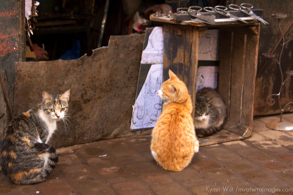 Africa, Morocco, Marrakech. Cats of the souks of Marrakech.