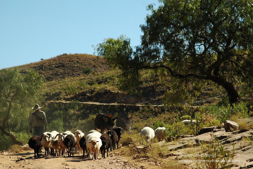 Man herding sheep in Torotoro, Bolivia