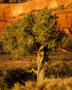 Juniper tree at sunset in the Chuska Mountains on the Navajo Indian Reservation in northern Arizona