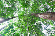 View up into rainforest canopy of Dipterocarp Treea in Peradayan Forest Reserve, Brunei