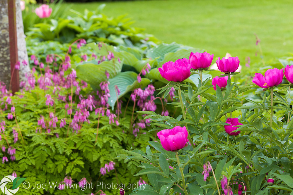 A peony and dicentra in the walled garden at Hutton in the Forest, Cumbria - photographed in May
