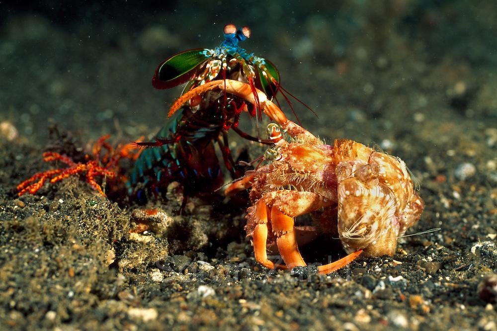 Beim Angriff auf einen Einsiedlerkrebs schlägt der Bunte Fangschreckenkrebs (Odontodactylus scyllarus) mit seinen Keulen zu. | Peacock mantis shrimp (Odontodactylus scyllarus)