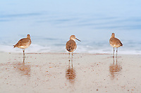 Three Willets photographed on the beach at Kitty Hawk NC. Willets are large sandpipers commonly found on the Outer Banks beaches in the fall and winter month's.