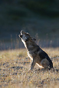 Wolf, Canis lupus, pup of Grant Creek pack, sitting on autumn tundra, howling, vertical, Denali National Park, Alaska, wild