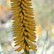 Closeup of Agave stalk with yellow  banana-like stems protruding from tall spike