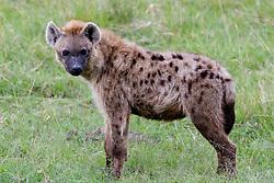 The Hyaenidae, a mammalian family of order Carnivora at Lake Nakuro National Park, in Kenya Zebras are odd-toed ungulates of the Equidae family native to Africa./ Hiena no Parque Nacional Lago Nakuro, no Quenia. Hyaenidae eh a familia da ordem Carnivora que inclui os varios tipos de hienas e o lobo-da-terra.