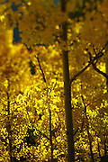 """SHOT 9/30/08 5:04:13 PM - Aspen leaves changing color near Central City, Co. Aspens are trees of the willow family and comprise a section of the poplar genus, Populus sect. Populus. The Quaking Aspen of North America is known for its leaves turning spectacular tints of red and yellow in the autumn of the year (and usually in the early autumn at the altitudes where it lives). This causes forests of aspen trees to be noted tourist attractions for viewing them in the fall. These aspens are found as far south as the San Bernardino Mountains of Southern California, though they are most famous for growing in Colorado. Autumn leaf color is a phenomenon that affects the normally green leaves of many deciduous trees and shrubs by which they take on, during a few weeks in the autumn months, one or many colors that range from red to yellow. The phenomenon is commonly called fall colors and autumn colors, while the expression fall foliage usually connotes the viewing of a tree or forest whose leaves have undergone the change. In some areas in the United States """"leaf peeping"""" tourism between the beginning of color changes and the onset of leaf fall, or scheduled in hope of coinciding with that period, is a major contribution to economic activity. Historic Central City is a Home Rule Municipality that is located in Gilpin County and Clear Creek County, Colorado, United States. The city is a historic mining settlement founded in 1859 during the Pike's Peak Gold Rush. Central City came to be known as the """"Richest Square Mile on Earth"""". Central City and the adjacent City of Black Hawk form the federally designated Central City/Black Hawk National Historic District. The population of Central City and its sister city Black Hawk fell to a few hundred by the 1950s. Casino gambling was introduced in both towns the early 1990s, but had more success in Black Hawk than in Central City..(Photo by Marc Piscotty / © 2008) Note : Shot with a tilt/shift lens"""