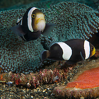 A pair of Saddleback Anemonefish, Amphiprion polymnus, by a Haddon's carpet anemone,<br /> Stichodactyla haddoni, Lembeh Island, Lembeh Strait, Pacific Ocean, Indonesia,