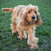 Local dogs in London - this is Ernie the golden cocker spaniel
