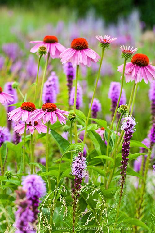 Purple Coneflower and Prairie gayfeather