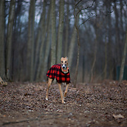 Greyhound Rescue Fosters