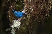 Masked flowerpiercer (Diglossa cyanea)<br /> Yanacocha Nature Reserve<br /> on slopes of Pichincha Volcano<br /> Andes<br /> ECUADOR, South America<br /> Range: humid montane forest and scrub in Venezuela, Colombia, Ecuador, Peru and Bolivia
