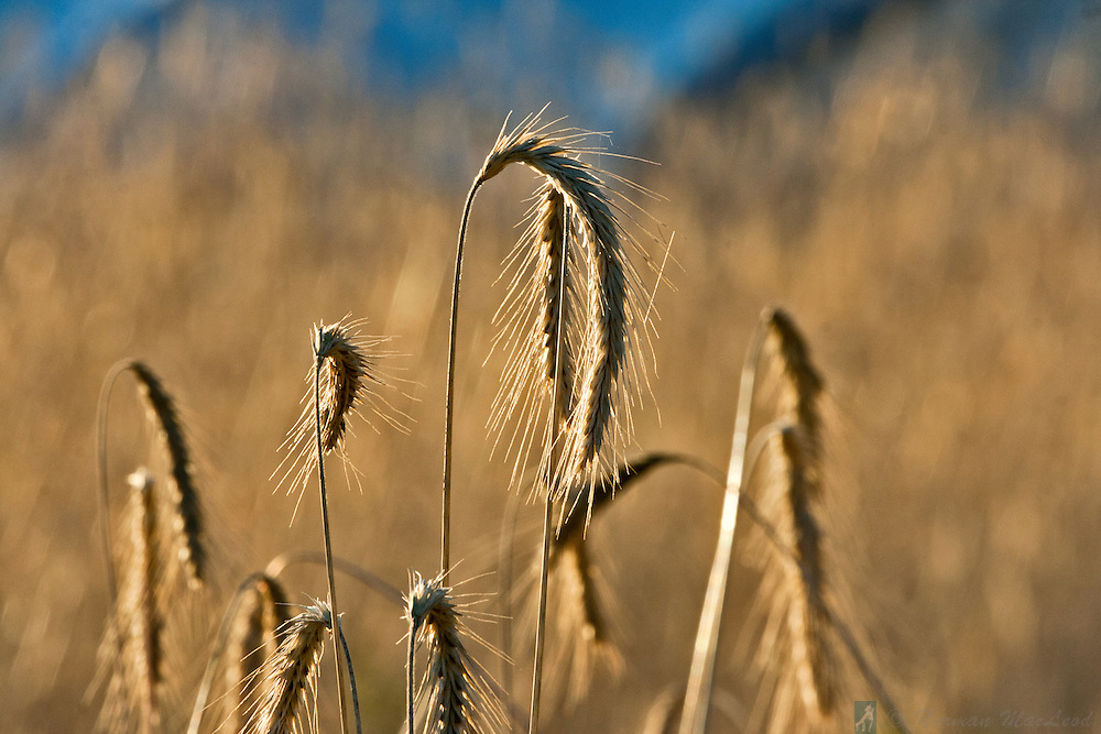 Wheat ready for harvest on the Olympic Peninsula in Jefferson County, Washington