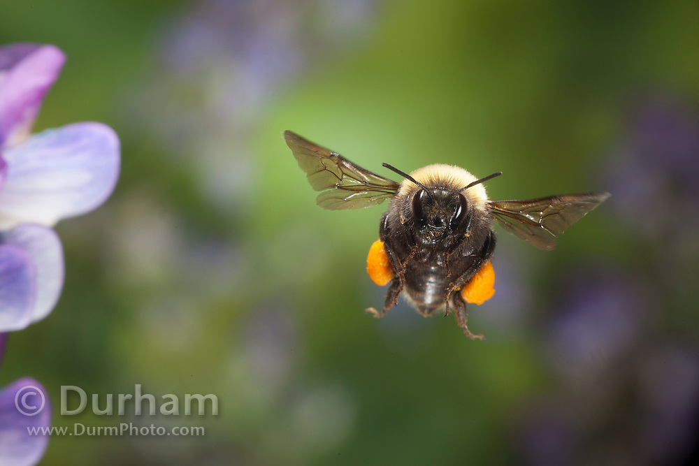 A rare bumble bee (bombus occidentalis) photographed on Mount Hood, Oregon. Bombus occidentalis was once a common bee on the west coast, but they have virtually dissappeared west of the Rocky Mountains.
