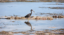 An Eastern Reef Egret (Egreta sacra) (grey morph) with a freshly caught fish at Broome's Town Beach, on the shores of Roebuck Bay.  The inter-tidal zone is richly productive.