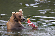 Adult brown bear feeding on salmon, Katmai National Park, Alaska
