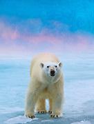 Polar Bear ( Ursus marmitimus) - Van Gogh Edition