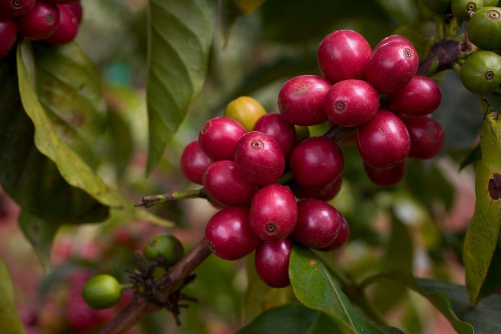 Africa, Kenya, Ruira, Detail of ripe Arabica coffee beans growing on Socfinaf's Oakland Estates coffee plantation