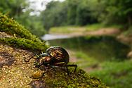 Darkling Beetle (Hegemona sp.)<br /> BELIZE: Cayo District <br /> Ian Anderson's Caves Branch Lodge near Armenia<br /> 12-Aug-2015<br /> J.C. Abbott &amp; K.K. Abbott
