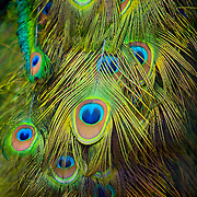 The tail feathers of a mail Peacock.