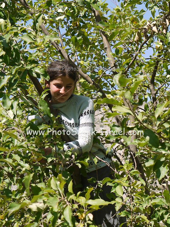 Turkey, Pontic Mountains range, Child picks apples