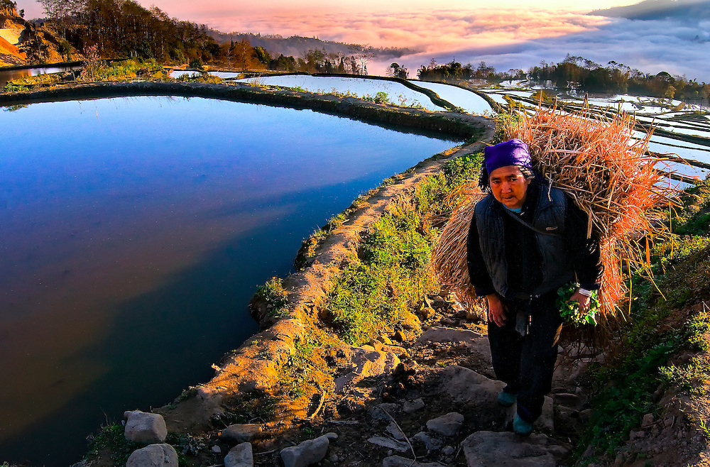A farmer with a load of hay on the Hani rice terraces in Yuanyang, Yunnan, China