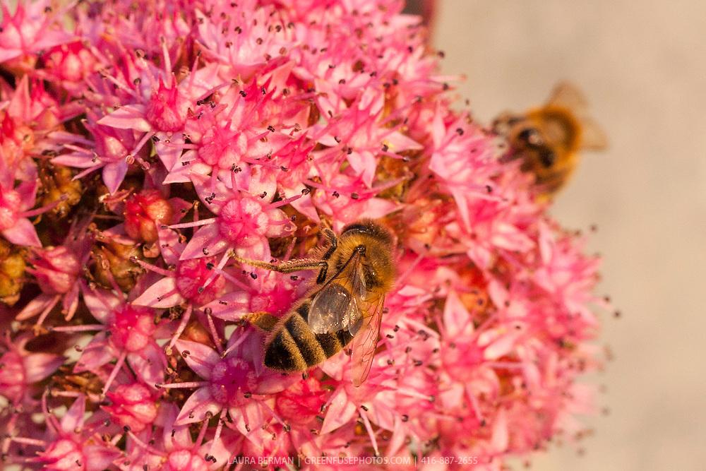 Honeybee on a dark pink Sedum flower.