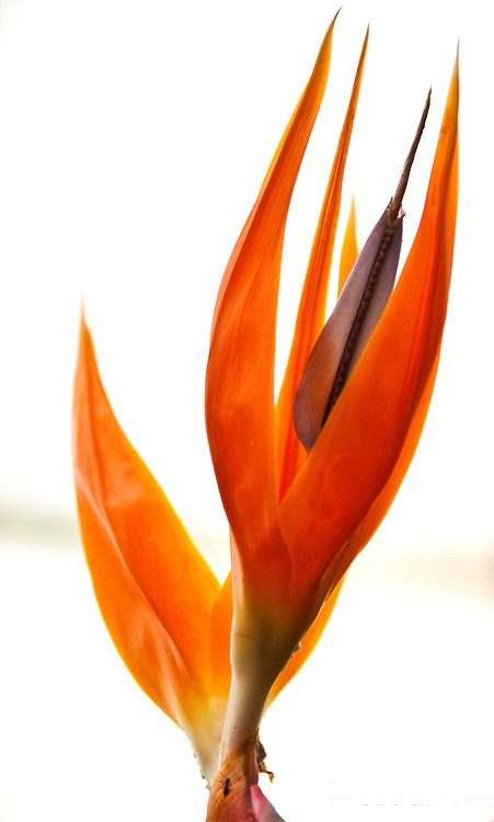 Bird of Paradise Flower or Strelitzia is a perennial flowering plant from South Africa