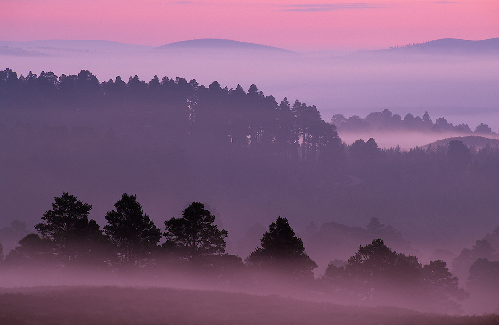 Scots pine forest before mid-summer dawn, Abernethy, Scotland