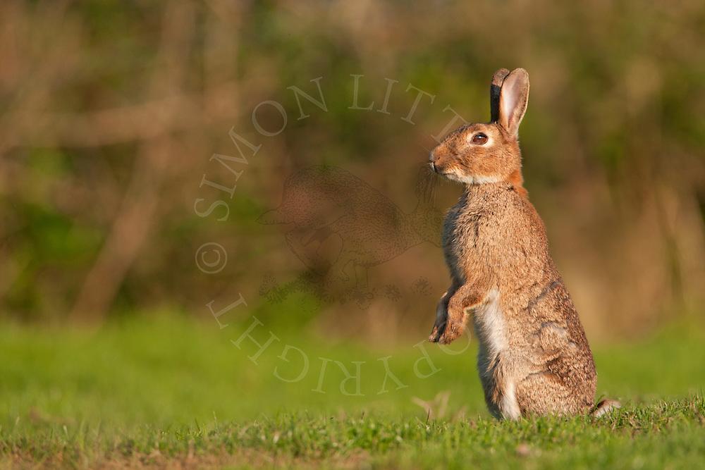 European Rabbit (Oryctolagus cuniculus) adult, satnding upright on back legs, alert, Norfolk, Uk.