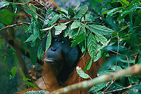 Adult male orangutan named Jari Manis uses a handfull of leafy branches to shield himself from a rain shower.