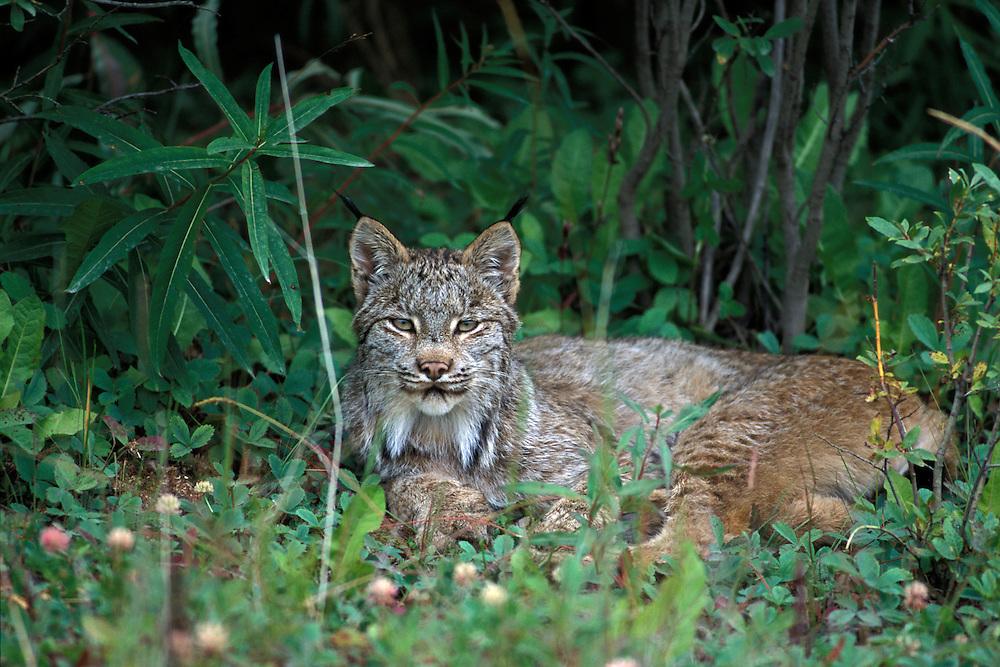 Lynx, (Lynx lynx).Canada