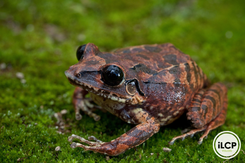 Burrowing frog, Eleutherodactylus aporostegus, from the Massif de la Hotte, Haiti