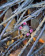 0115-1016B ~ Copyright:  George H. H. Huey ~ Arizona fishhook cactus [Mammillaria microcarpa], growing amidst dead ocotillo branches.  Saguaro National Park, Arizona.