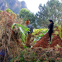 Europe, Portugal, Madeira. Harvesting crops on the verdant hillsides of Madiera.