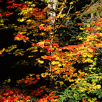 Vine Maples, Mt. Baker, North Cascades, WA, Fall
