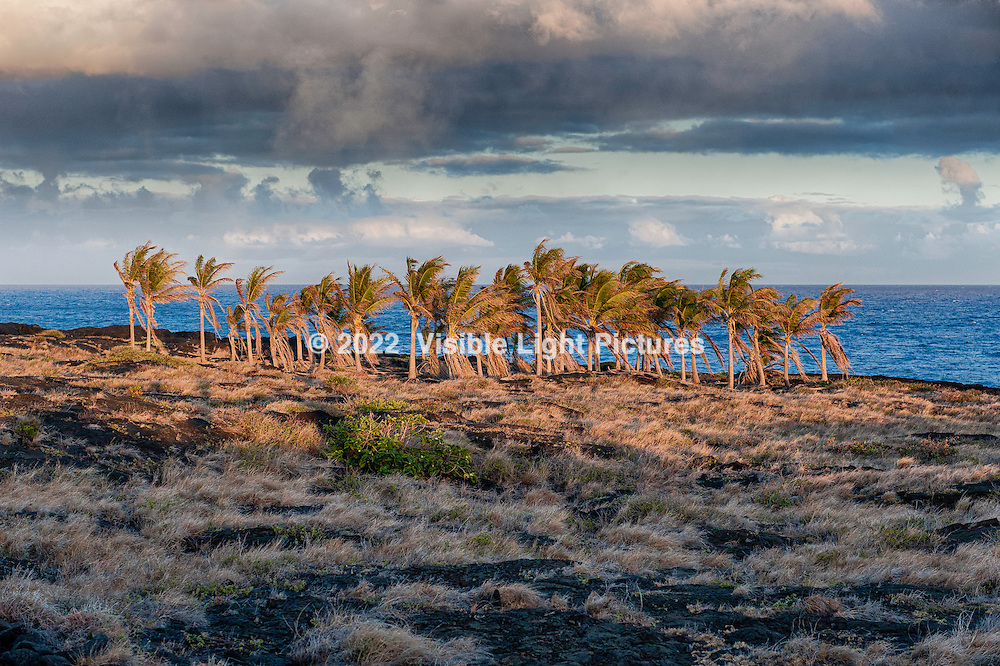 Cluster of Palm Trees at sunset at Volcanoes National Park in Hawaii
