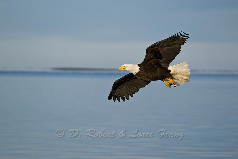 Alaskan bald eagle in flight